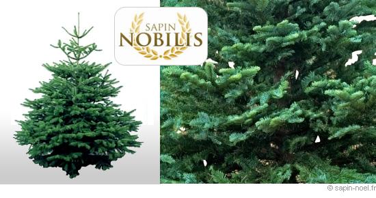 le sapin nobilis sapin noel sapins nordmann picea nobilis. Black Bedroom Furniture Sets. Home Design Ideas